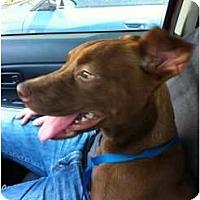 Adopt A Pet :: Bubbles - Arlington, TX