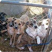 Adopt A Pet :: Boxer Mix puppies - Albany, NY