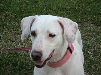 American Bulldog Mix Dog for adoption in Royal Palm Beach, Florida - Hope