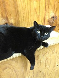 American Shorthair Cat for adoption in Elgin, Texas - Mia