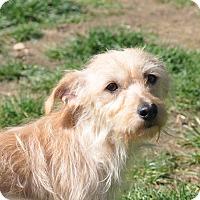 Adopt A Pet :: Penny - Tumwater, WA