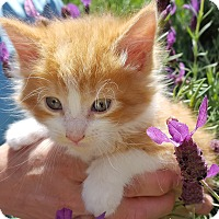 Adopt A Pet :: Romeo - Stanford, CA