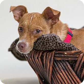 Chihuahua/Terrier (Unknown Type, Medium) Mix Dog for adoption in Pt. Richmond, California - KRISTA