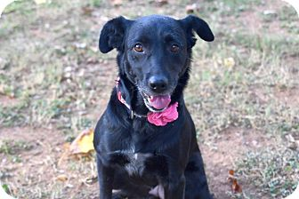 Retriever (Unknown Type)/Labrador Retriever Mix Dog for adoption in Chattanooga, Tennessee - Bonnie