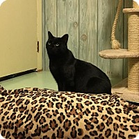 Domestic Shorthair Cat for adoption in Acme, Michigan - Boo