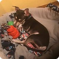 Adopt A Pet :: Buzz - Flossmoor, IL