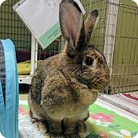 Adopt A Pet :: Cinnamon - Oak Park, IL