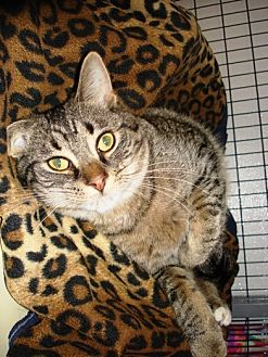 Domestic Shorthair Kitten for adoption in Kalamazoo, Michigan - Beast