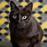Adopt A Pet :: Tom - Herndon, VA