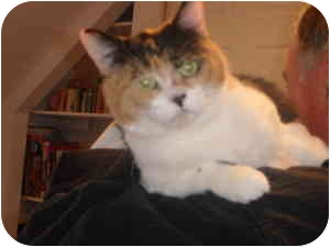 Calico Cat for adoption in Montreal, Quebec - Penny