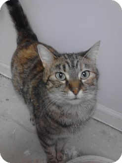 Domestic Shorthair Cat for adoption in Sterling Hgts, Michigan - Bada