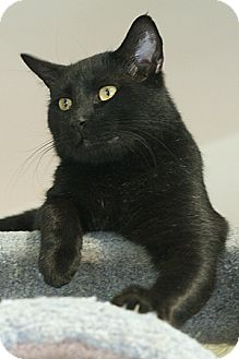 Domestic Longhair Cat for adoption in Columbia, Maryland - Trix And Company