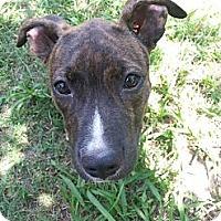 Adopt A Pet :: Cookie - Blanchard, OK