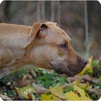 Adopt A Pet :: Sasha - Albany, NY