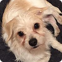 Adopt A Pet :: Dash - North Little Rock, AR