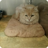 Persian Cat for adoption in Muskegon, Michigan - nala