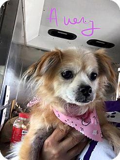 Chihuahua/Pekingese Mix Dog for adoption in Longview, Texas - avery