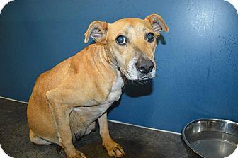Labrador Retriever/Shepherd (Unknown Type) Mix Dog for adoption in Henderson, North Carolina - Betty (pregnant)