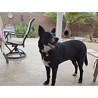 Border Collie Mix Dog for adoption in Tempe, Arizona - Hershel