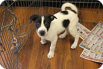 Pointer/Border Collie Mix Puppy for adoption in Sparta, New Jersey - Brady-adoption pending