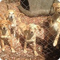 Adopt A Pet :: Harper, Hunter, Clover & Chloe - Allentown, PA