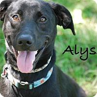 Adopt A Pet :: Alyssa - Minneola, FL