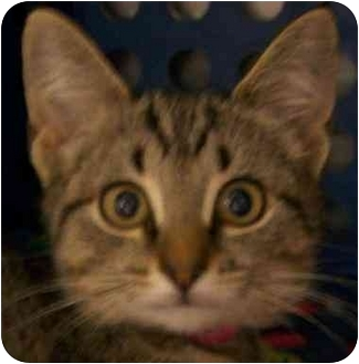 Domestic Shorthair Kitten for adoption in Annapolis, Maryland - Mia