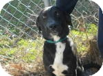 Labrador Retriever Mix Dog for adoption in Manchester, Connecticut - Prancer in Ct