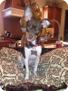 Chihuahua/Fox Terrier (Smooth) Mix Dog for adoption in San Diego, California - Sidney
