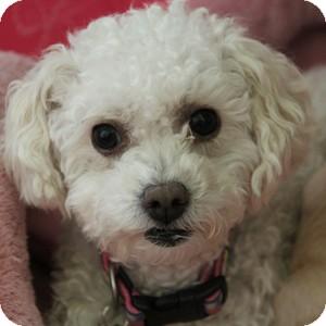 Bichon Frise Mix Dog for adoption in La Costa, California - GiGi
