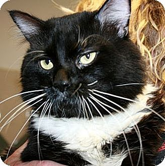 Domestic Mediumhair Cat for adoption in Canoga Park, California - Boots