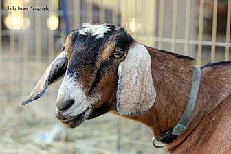 Goat for adoption in Mead, Washington - Ipanema