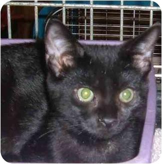 Domestic Shorthair Cat for adoption in Bedford, Massachusetts - Dante