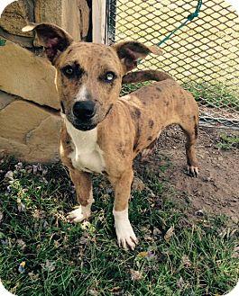 Basset Hound/Catahoula Leopard Dog Mix Dog for adoption in Okmulgee, Oklahoma - Chuck