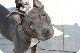 American Staffordshire Terrier/American Pit Bull Terrier Mix Puppy for adoption in Shrewsbury, New Jersey - Storm