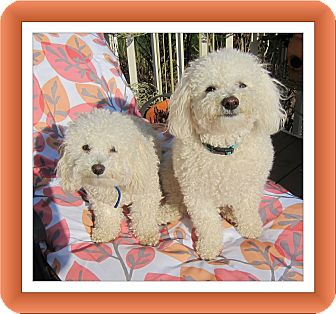 Bichon Frise Dog for adoption in Tulsa, Oklahoma - Adopted!! Primo & Secondo - IL