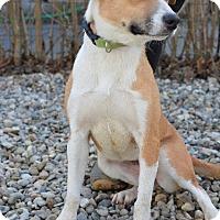 Adopt A Pet :: Patsy - Danbury, CT