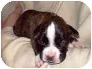 Boxer Puppy for adoption in Sunderland, Massachusetts - Holly