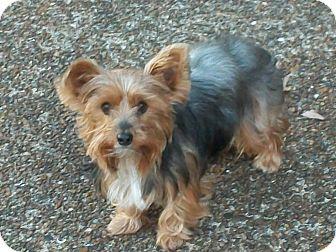 Yorkie, Yorkshire Terrier Dog for adoption in Washington, D.C. - Sammy