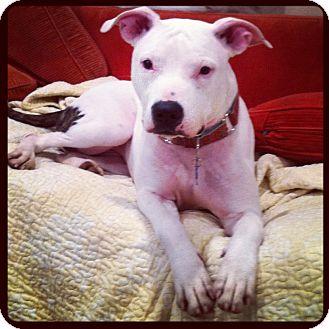 American Pit Bull Terrier/Bull Terrier Mix Dog for adoption in Washington, D.C. - Pepper