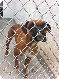 Boxer Dog for adoption in Gainesville, Florida - Maggie