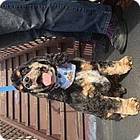 Adopt A Pet :: Harley - Surrey, BC