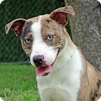 Adopt A Pet :: Snickers - Port Washington, NY