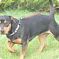 Adopt A Pet :: Luna - Tumwater, WA