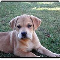 Adopt A Pet :: Sonny - Gilbert, AZ