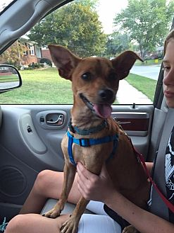 Miniature Pinscher/Jack Russell Terrier Mix Dog for adoption in Bear, Delaware - Buster