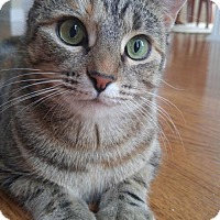 Adopt A Pet :: Shannon Female (Manx) - knoxville, TN