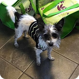 Terrier (Unknown Type, Small) Mix Dog for adoption in Greensboro, Maryland - Walt