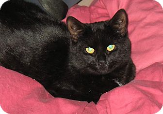Domestic Shorthair Cat for adoption in Queensbury, New York - Raven