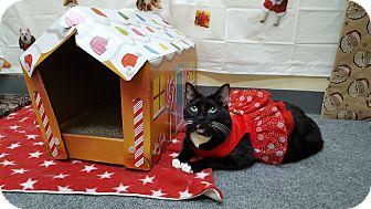 Domestic Shorthair Cat for adoption in Pasadena, California - Mousie